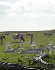 Cows grazing by the measuring equipment